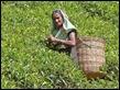 J18_3803 Tea Picking