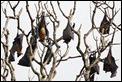 J18_4112 Fruit bat roost