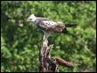 J18_4394 Changeable Hawk-eagle