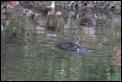 J19_2405 Duck-billed Platypus