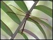 J19_3352 Austrophlebia costalis